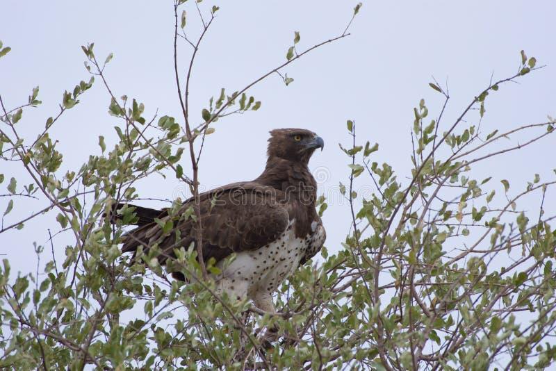 Krigs- Eagle arkivbild