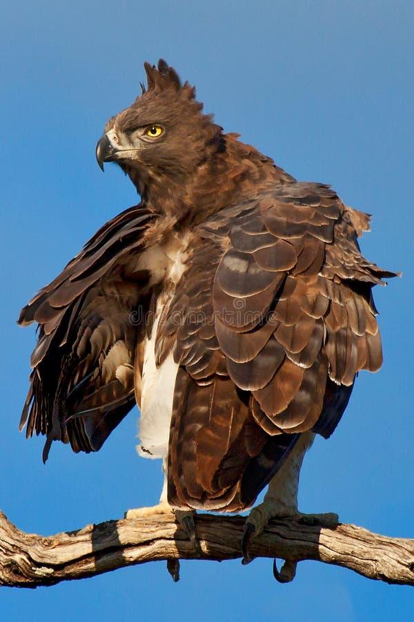 Krigs- Eagle arkivbilder