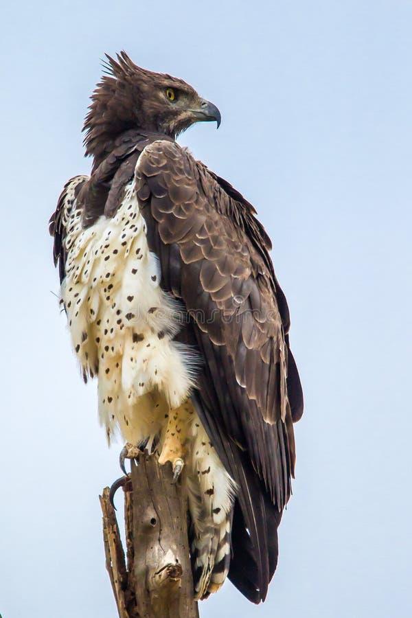 Krigs- Eagle royaltyfria foton