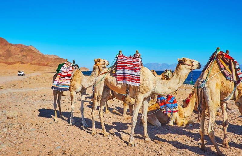 Krijg ervaring van kameelsafari in Sinai, Egypte royalty-vrije stock afbeelding