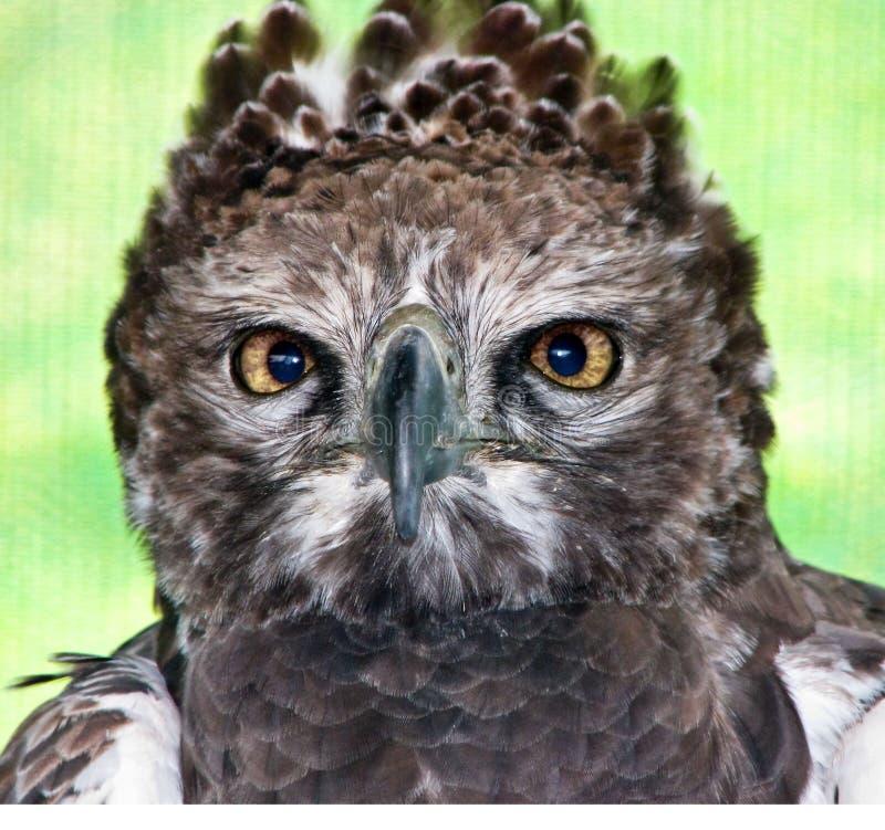 Krijgs adelaar stock foto's