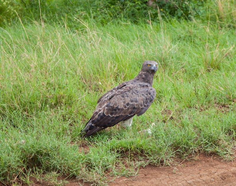 Krijgseagle bird van Prooi royalty-vrije stock afbeeldingen