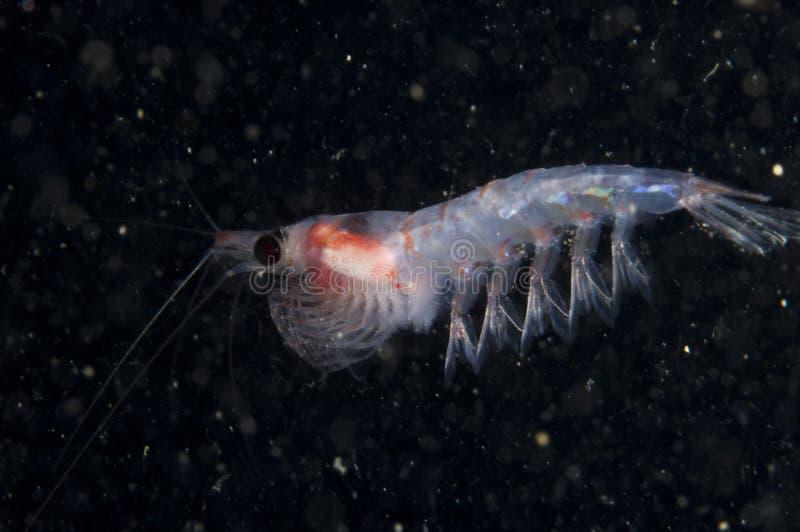 Krill dryfować podwodny w St Lawrance rzece w Kanada obraz royalty free