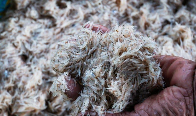 Krill fresco do mar fotografia de stock