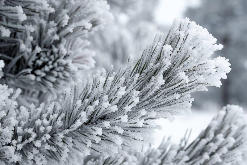 Kristalle des Frosts auf Kiefernniederlassungen im Winter während der schweren Fröste stockfotos