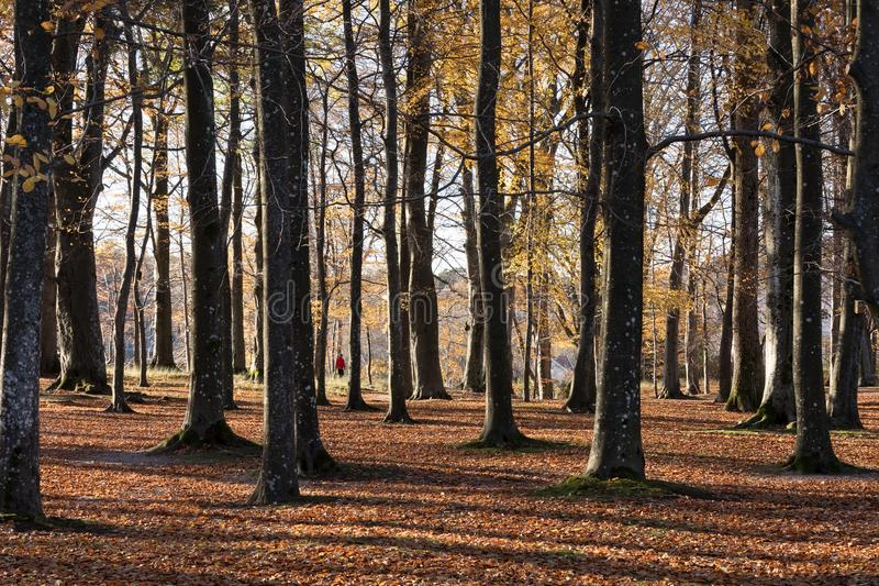 Kristiansand, Norway - November 5, 2017: The beech forest in the botanical garden at Gimle, Kristiansand. Autumn with. The beech forest, Fagus sylvatica, in the stock photos