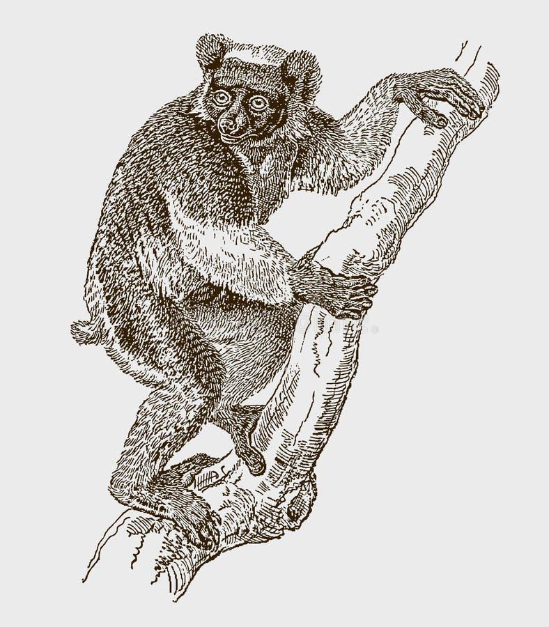 Kritisch gefährdeter indri- oder babakoto-Klettersteig auf einem Baum vektor abbildung
