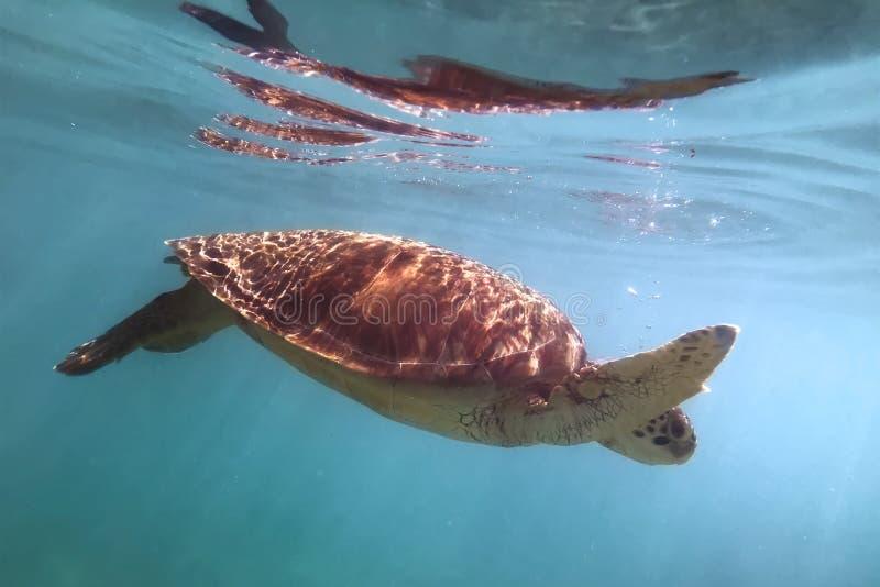 Kritisch het bedreigde imbricata hawksbill zeeschildpad van specieseretmochelys zwemmen royalty-vrije stock foto