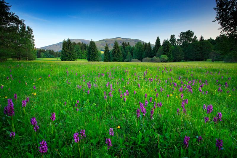 Krkonose mountain, flowered meadow in the spring, forest hills, misty morning with fog and beautiful clouds, peak of Snezka hill i royalty free stock images
