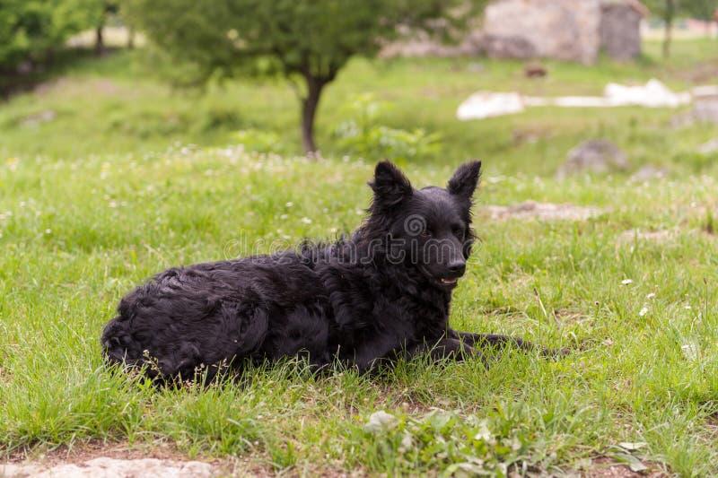Kroatisk herdehund i fältet Svart hund i natur, utomhus arkivfoto