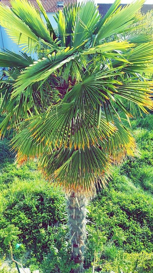 Kroatisk palmträd royaltyfri bild