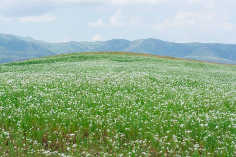Krocia białe stokrotki zielone wzgórza Lato sezon Natura «Kapal « Chmurna pogoda Góry Alatau « obrazy stock