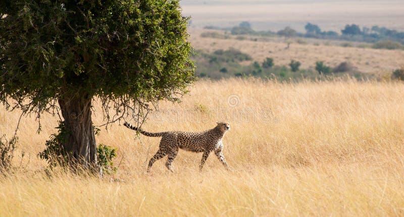Kroczyć dumnie geparda zdjęcia royalty free
