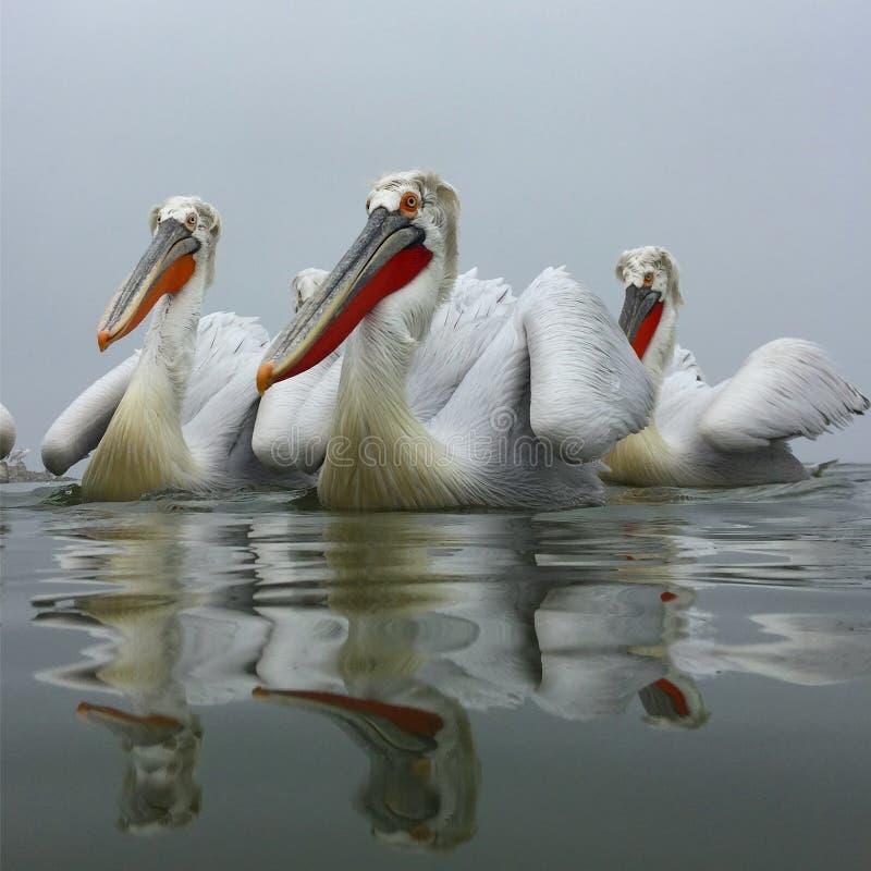 Kroeskoppelikaan, далматинский пеликан, crispus Pelecanus стоковое фото