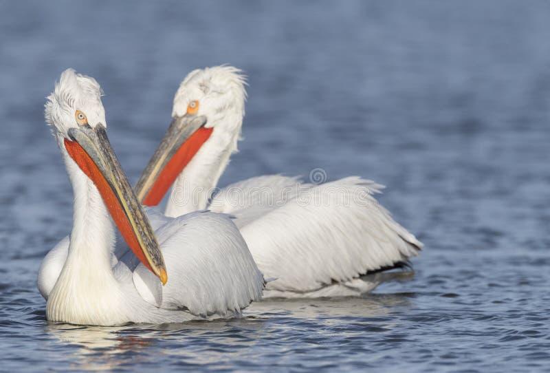 Kroeskoppelikaan, Dalmatian Pelican, Pelecanus crispus royalty free stock images