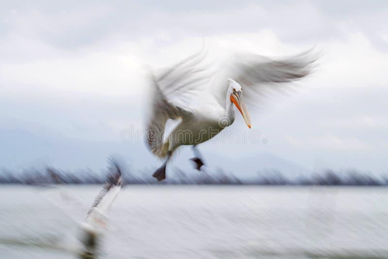 Kroeskoppelikaan Dalmatian pelikan, Pelecanuscrispus royaltyfri foto