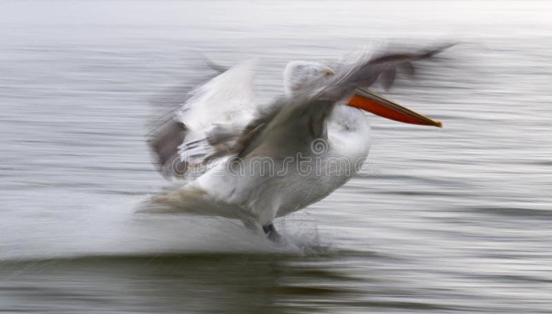 Kroeskoppelikaan, pélican dalmatien, crispus de Pelecanus photo libre de droits