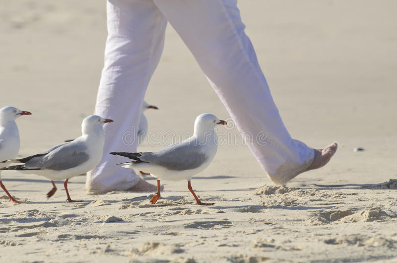 Krok w czasie! Unikalni zabawa dennych ptaków seagulls chodzi w czasie z osobą na plaży obraz royalty free