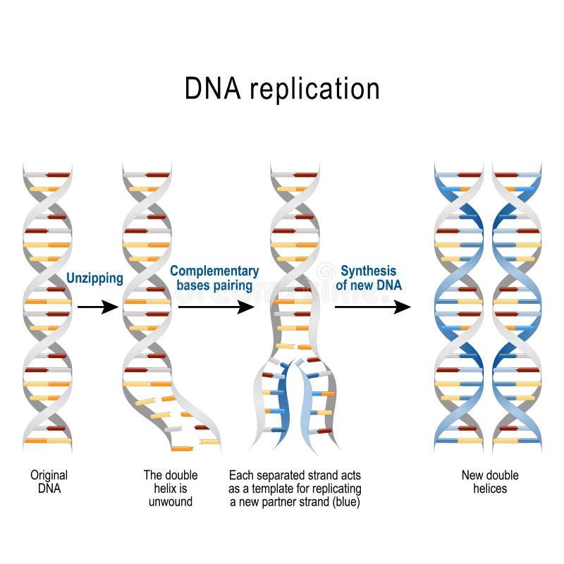 Kroki DNA replikacja royalty ilustracja