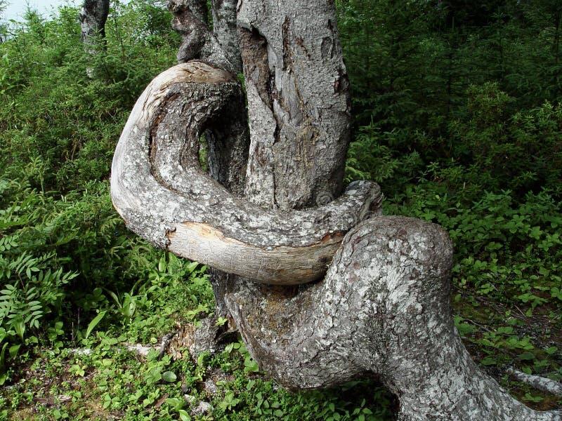 Download Krokig tree fotografering för bildbyråer. Bild av unikt - 26371