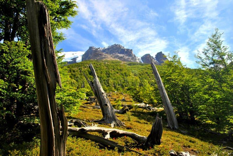 Krokiga trädstammar i Torres del Paine royaltyfria foton