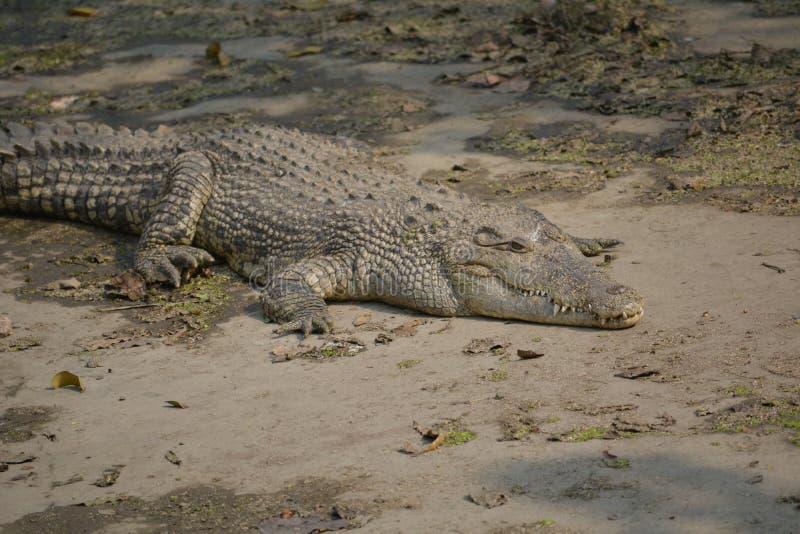 Krokodil 🠐 Š royalty-vrije stock afbeeldingen