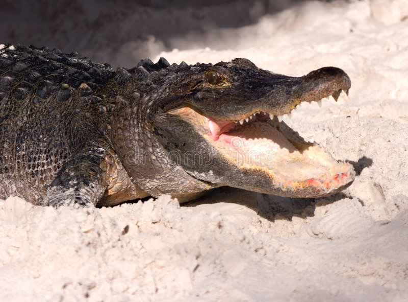 Krokodil 10 stockbilder