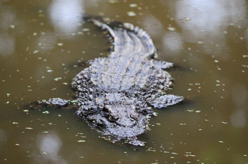 Download Krokodil arkivfoto. Bild av skräck, fara, wild, död, fasa - 19788130