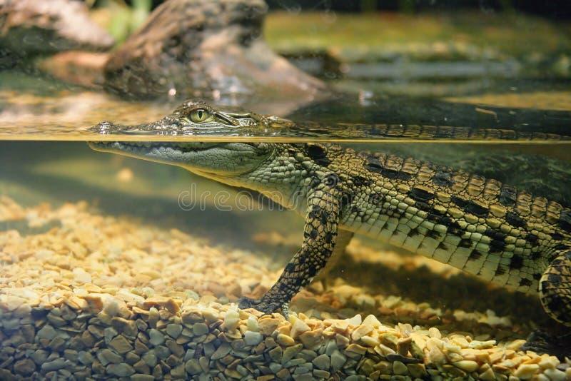 krokodil 2 royaltyfri bild