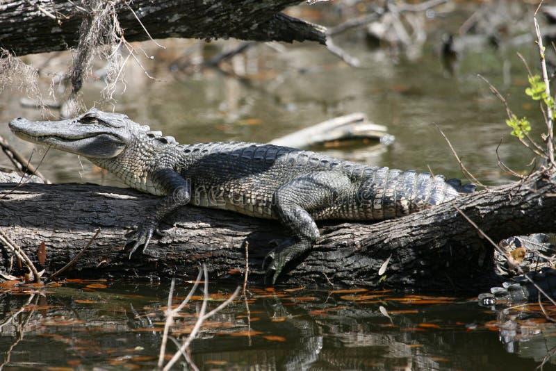 Krokodil lizenzfreies stockfoto