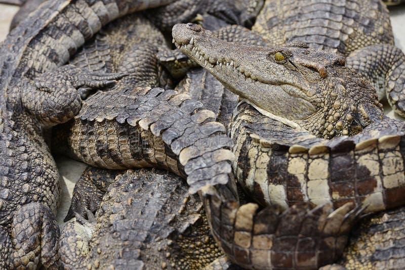 Krokodil lizenzfreie stockbilder