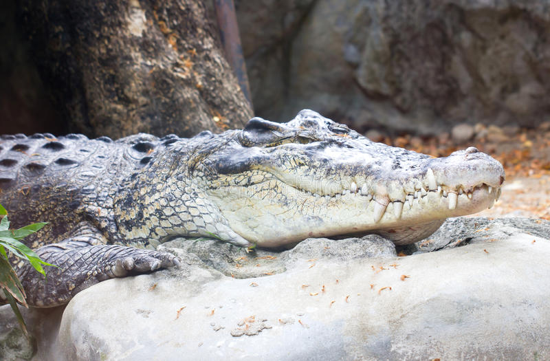 Krokodil. royalty-vrije stock foto's