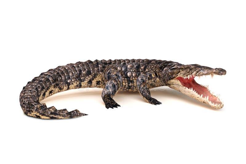 Krokodil in agressieve houding stock afbeelding