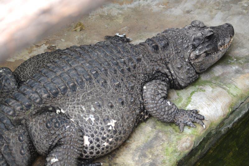 Krokodil - alligator royalty-vrije stock foto