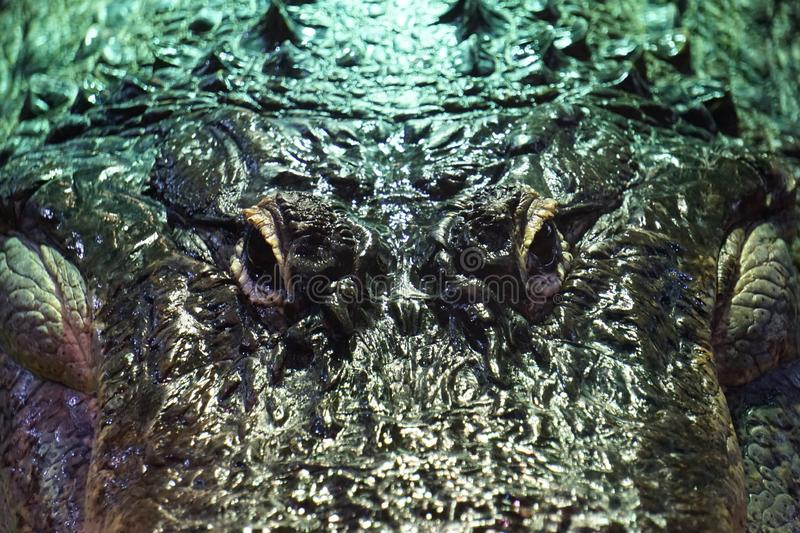 Krokodil, alligator - close-upfoto royalty-vrije stock afbeeldingen