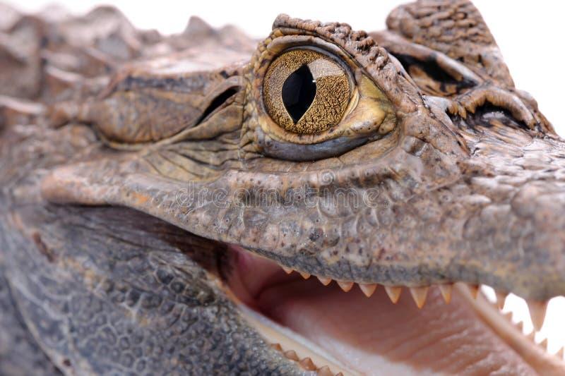 Krokodil auf dem weißen Hintergrund stockfotografie