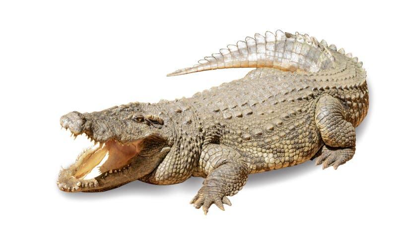 Krokodil auf einem weißen Hintergrund stockfotografie