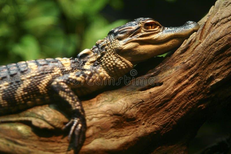 Krokodil auf Protokoll lizenzfreies stockbild