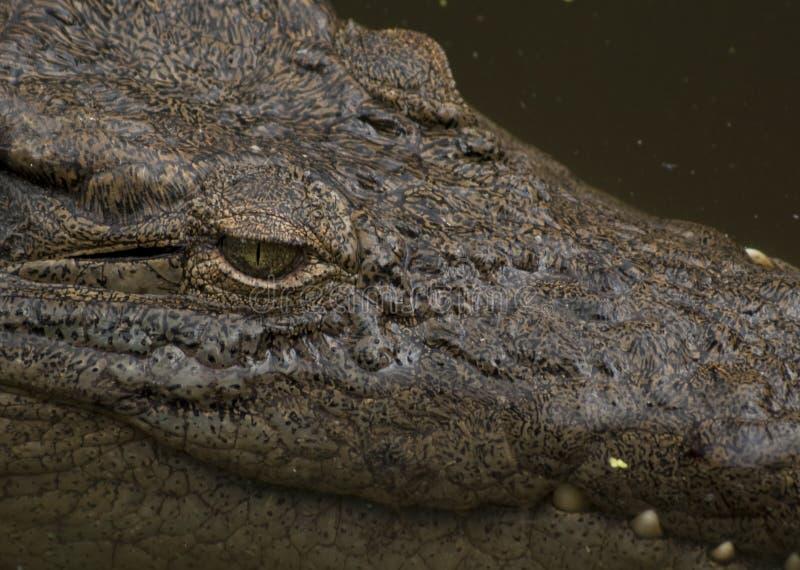 Krokodil-Auge lizenzfreie stockfotos