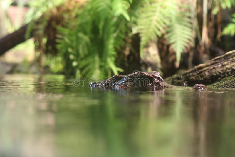 Krokodil-Augen stockfotografie