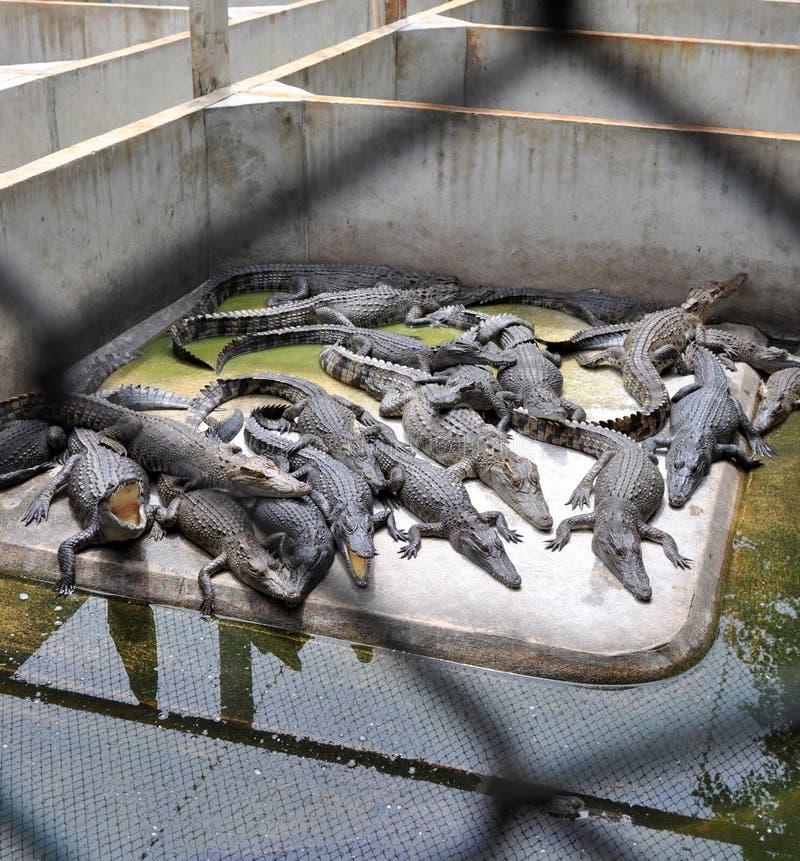 Krokodil-Bauernhof lizenzfreie stockfotografie