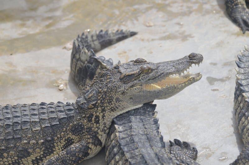 Krokodil-Bauernhof ist in Pattaya, Thailand lizenzfreies stockbild