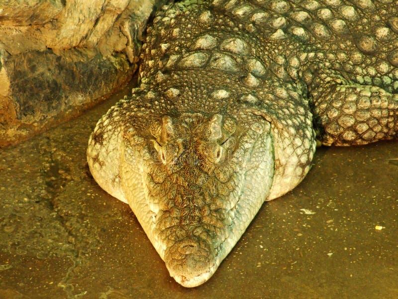 Krokodil bij de dierentuin in Zagreb stock afbeelding