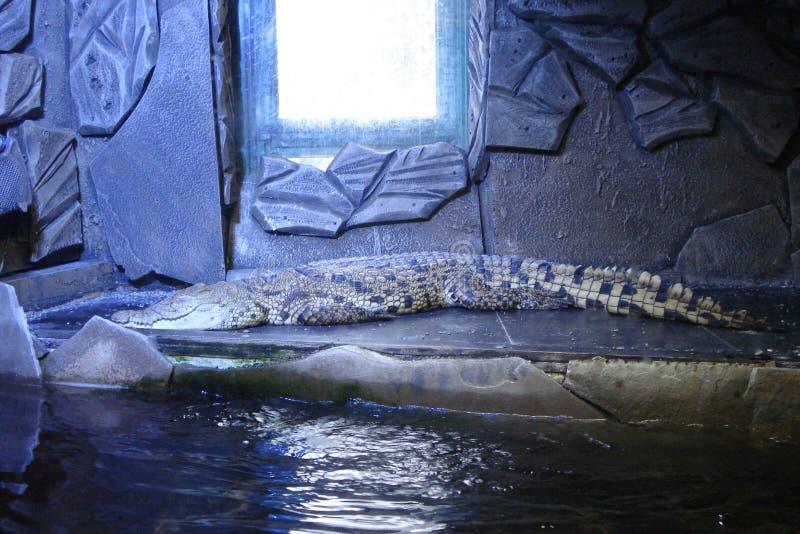 Krokodil in blauw royalty-vrije stock foto