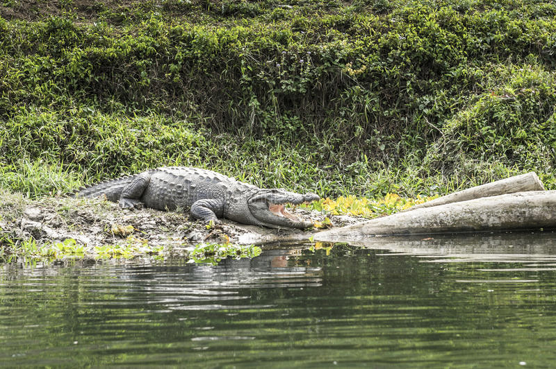 Krokodil Chitwan im Nationalpark, Nepal stockfoto