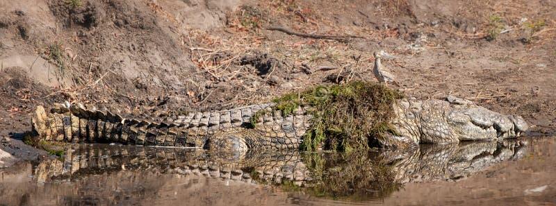 Krokodil (Crocodilia) stockbild