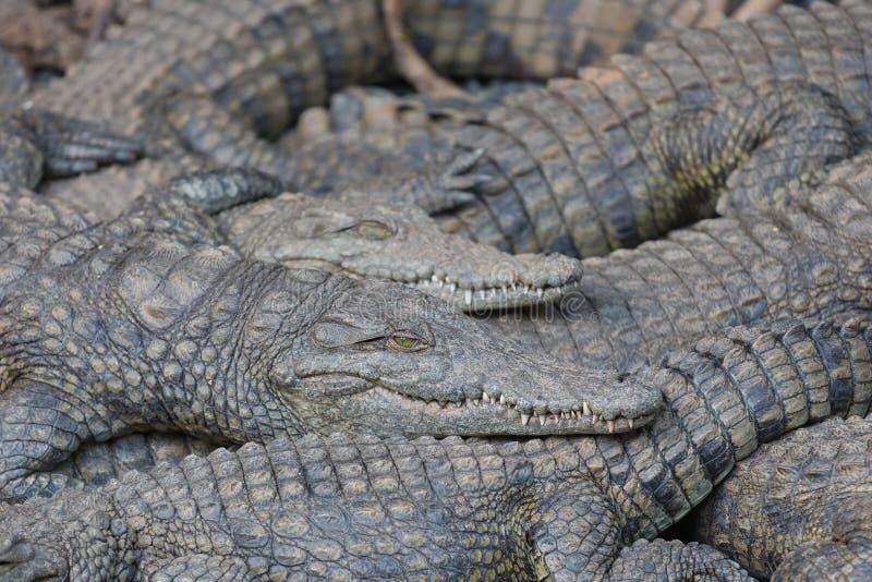 Krokodil, das auf einander liegt lizenzfreies stockfoto