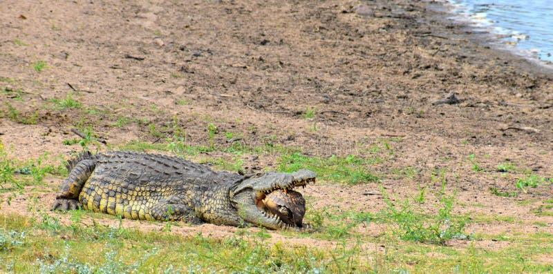 Krokodil, das hartes zu Mittag isst stockfotos