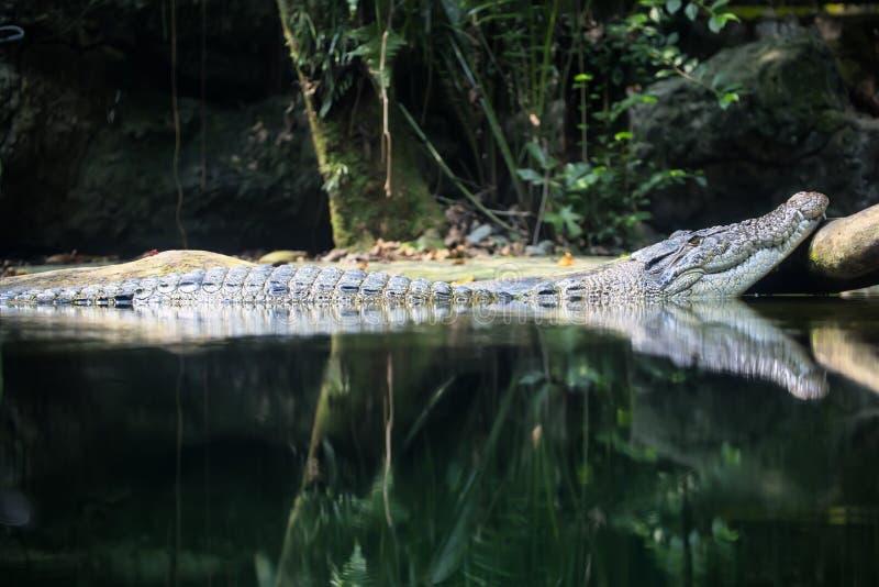 Krokodil in de dierentuin van watersingapore stock afbeeldingen