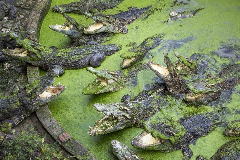 Krokodil in de vijver stock afbeelding